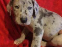 I have a litter of blue Great Dane puppies, blue and