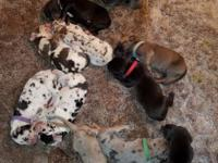 AKC Great Dane puppies!! ******** Born 1-4-18 will be 8