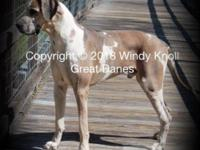 My family is pending!!AKC gorgeous BlueFawn Boy. 50 %