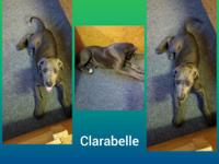 AKC registered blue great dane female puppy. Very