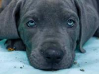 these beautiful blue pups are 1/2 European.They will be