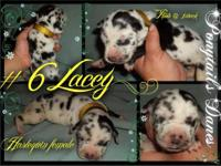 This is Lacey, she is a beautiful little harl girl, I