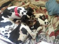 AKC GREAT DANE PUPS MOTHER A HARLEQUIN DAD A