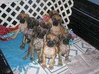 AKC Great Dane pups Brindle and Fawn pups Health