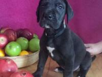 Akc registered 50% euro great dane pups ready to go