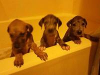 6week old Great Dane pups , 2merles left,  sire is