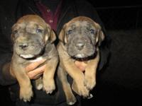 We have four purebred Great Dane puppies They will be