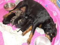 Rottweiler German Shepherd Mix For Sale In California Classifieds