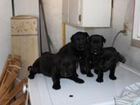 Awesome litter of great Dane rottweiler mix pups. Best