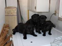 Awesome litter of great Dane rottweiler mix pups. Best