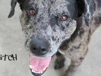 Great Dane - Tigger - Large - Adult - Male - Dog