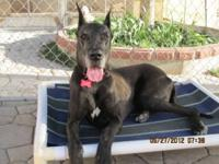 Great Dane - Tyler - Extra Large - Adult - Male - Dog