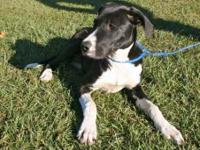 Great Dane - Zoey - Large - Adult - Female - Dog My