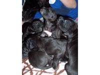 I have a gorgeous litter of black and white great dane