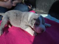 I have 6 excellent dane puppies available. 4 females