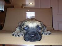 Great Dane puppies are ready for new home. Puppies are