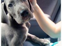 Great Danes babies ready for their new homes