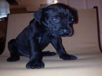 Black & Merle Great Dane puppies are looking to be