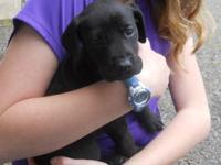 Very cute Great Dane Standard Poodle mix puppies! Will