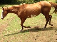 Quarter Horse - 8 yr old Bald Face Mare. 15 hands. This