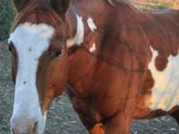 11 year old Quarter horse Gelding, 14.2 hands, White &