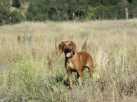 10month old hound named Copper. He is black mouth cur