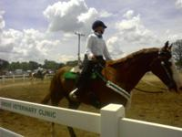 Great 11year old, 17 hand paint gelding. He is