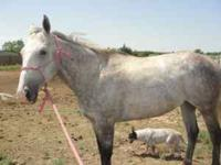 6 year old Gray Gelding. Son of Fortifier out of a