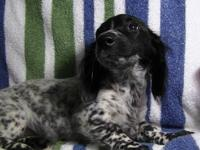 GREAT LITTLE LONG HAIR MINIATURE DACHSUND CKC