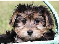 Excellent looking, beautifull and cute teacup yorkie