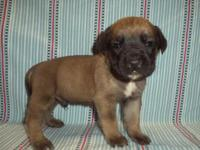 This English Mastiff puppy is nicknamed Picaso. He is a