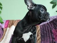 Male and Female French Bulldog  Babies Ready, They
