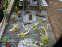 Great new place to buy unique Bromeliad/tillandsia