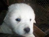 Hi I have one female puppy left ready to go mid April