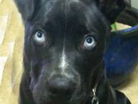 Beautiful pup: Neutered male, 14 months old, black