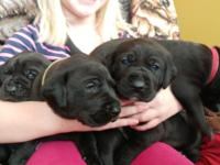 I have 3 gorgeous Great PyreDane pups for sale! Mom is