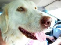 Great Pyrenees - Amber - Large - Young - Female - Dog