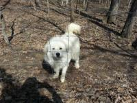 Livestock guard dogs-- Great Pyrenees - 1 8month old