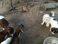 1 male Great Pyrenees left. These puppies have been