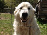 I have a 3 years of age Great Pyrenees lady available