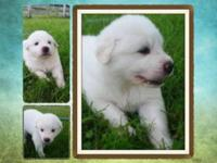 Great Pyrenees purebred with papers CKC. Vet checked,