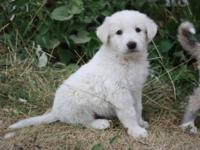 Pyrenees Anatolian puppies! Almost 7 weeks old Our