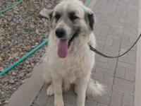 Great Pyrenees/ Anatolian Shepherd Gauardian Dog.