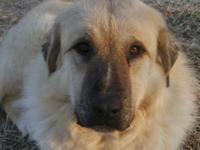 For Sale - 50/50 Great Pyrenees Anatolian Shepherd