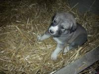 We have a litter of Great Pyrenees/Anatolian Shepherd