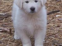 Very handsome Boy Puppy! He is 75% Great Pyrenees and