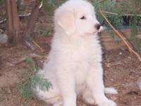 Beautiful girl puppy! She is 75% Great Pyrenees and 25%