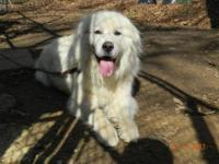 Great Pyrenees - Aurora - Large - Young - Female - Dog