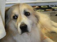 Great Pyrenees - Baby - Large - Adult - Female - Dog