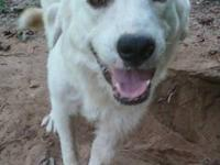 Great Pyrenees - Beauty - Large - Young - Female - Dog